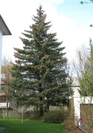 Picea sitchensis_HAS.jpg